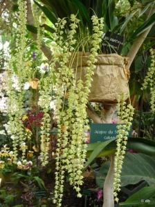 Orchidée Dendrochilum ©db