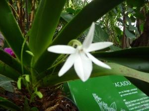 L'odorante et discrète Orchidée Jumellea sagittata © db